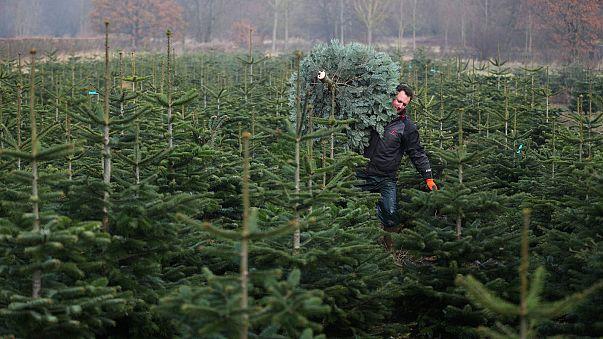 Milyen fenyőt keresnek karácsonyfának leginkább a magyarok?