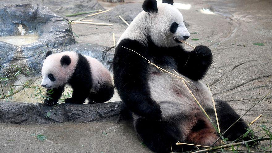 «Ароматная» панда