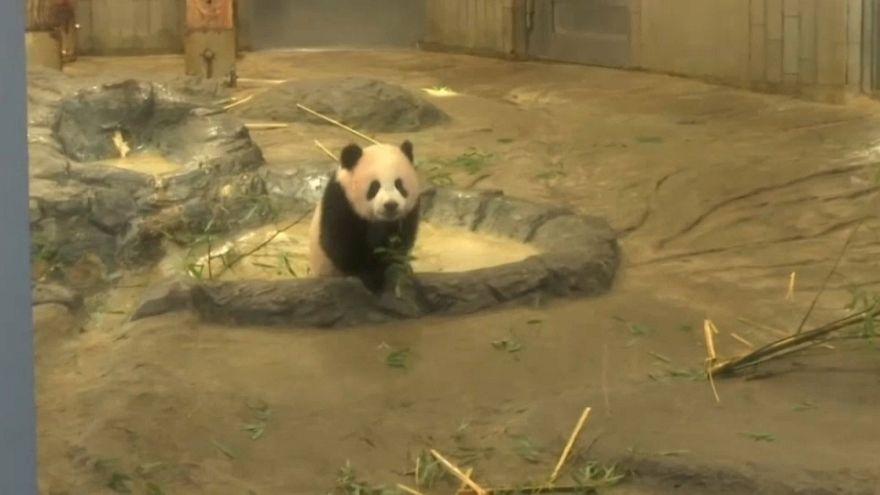 Lotería para poder ver al panda estrella del zoo de Tokio