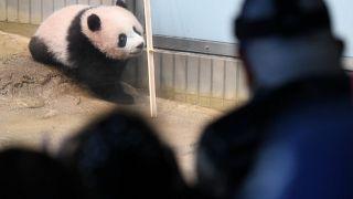 Pandababy Xiang Xiang