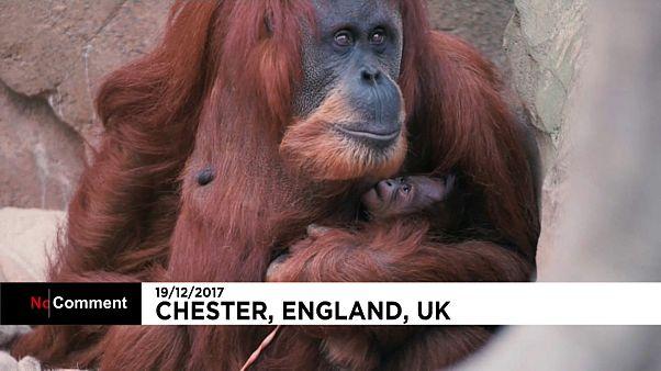 Zoo de Chester celebra o Natal com um novo orangotango