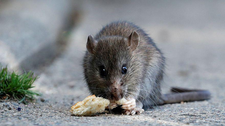 France : des ministères envahis par des rats