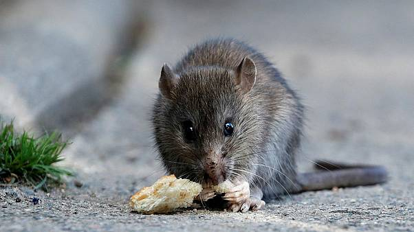 French government hires cats to chase out rats in ministry buildings