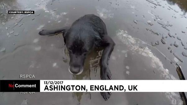 Labrador Hardy (9) - dramatische Rettung aus dem Eis