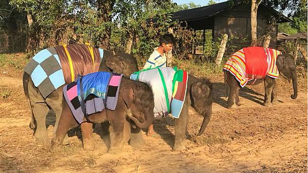 Myanmar elephants keep warm with giant blankets amid cold snap