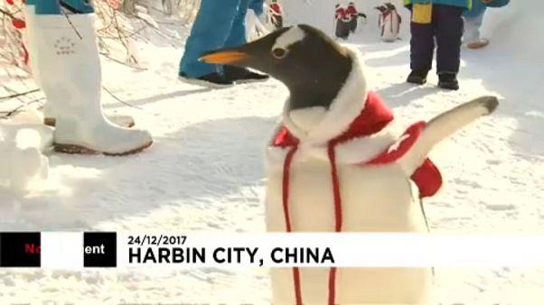 Télapónak öltöztetett pingvinek Kínában