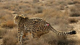 کوشکی، یوزپلنگ نر ایرانی