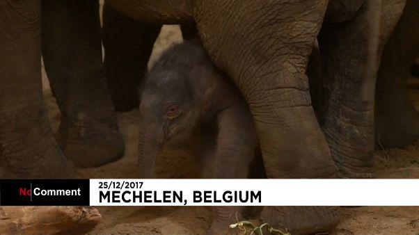 Nacimiento el día de Navidad en el zoo belga de Planckendael