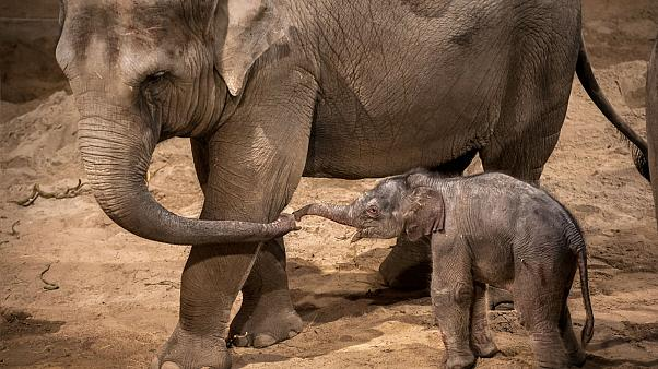 A baby elephant stands next to its mother May Tagu