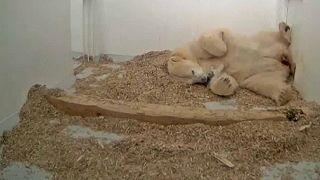 Urso polar brinca com a mãe no jardim zoológico de Berlim