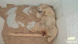 Polar bear cub opens her eyes
