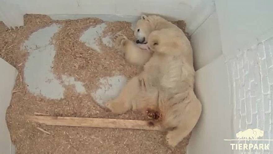 Polar bear cub opens her eyes