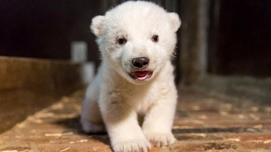 Berlino festeggia la nascita di un'orsa polare