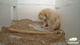 Berliner Eisbärbaby öffnet offenbar erstmals die Augen