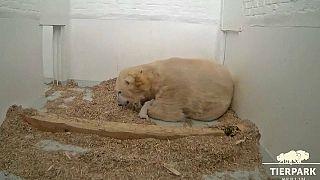 Nace una osita polar en el zoo de Berlín
