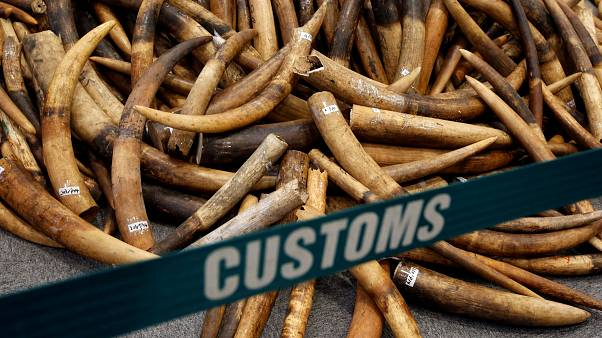 Ivory tusks seized by Hong Kong customs