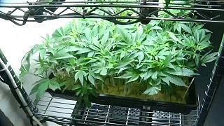 الماريجوانا للترفيه والزراعة بشكل قانوني في كاليفورنيا