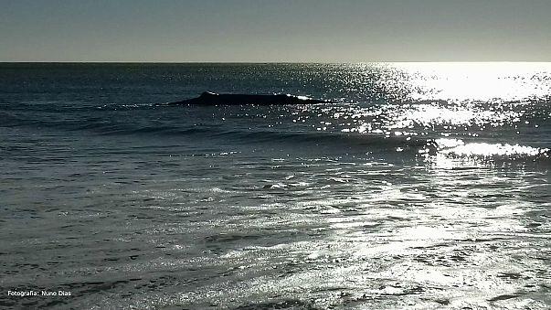 Encontrada morta baleia que encalhou em Monte Gordo