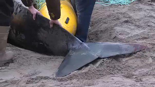 Gömbölyűfejű delfint mentettek Kanadában