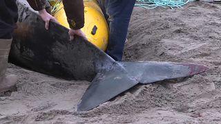 "Canada: salvata una balena ""pilota"" spiaggiata"