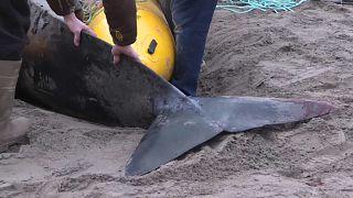 Kanada'da sahile vuran balina kurtarıldı