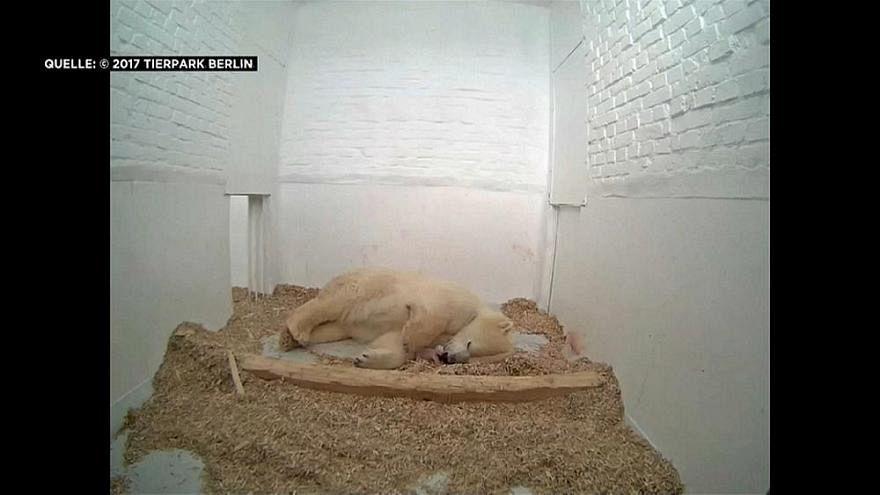 Csupán 26 napot élt az állatkertben született jegesmedvebocs