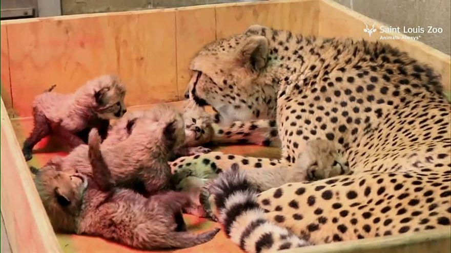 Huit bébés guépards nés dans un zoo