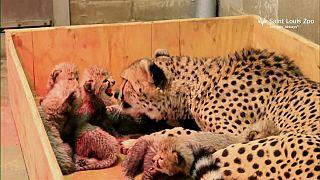 Çita Bingwa 8 yavru doğurdu