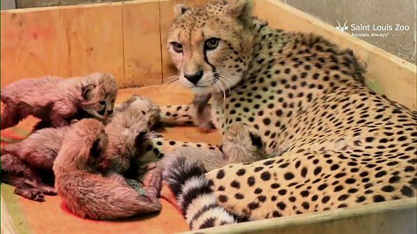 Cucciolata record: otto ghepardini allo zoo di St. Louis