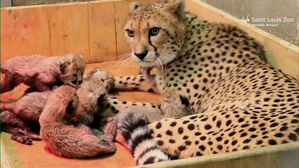 В мире животных тоже бывают матери-героини