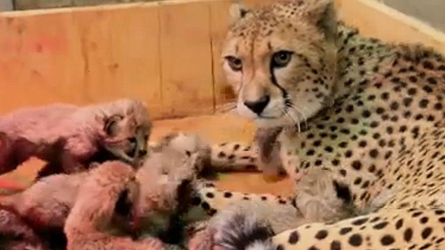 Chita dá à luz oito crias no zoo de Saint Louis