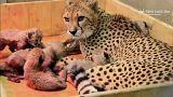Bedrohte Arten: Acht Geparden-Junge in US-Zoo geboren
