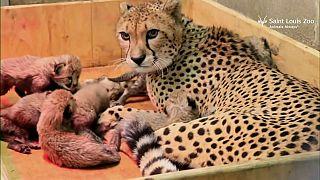 Una guepardo dio a luz a ocho cachorros en un zoo estadounidense