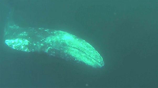 E le balene vanno in vacanza al caldo...