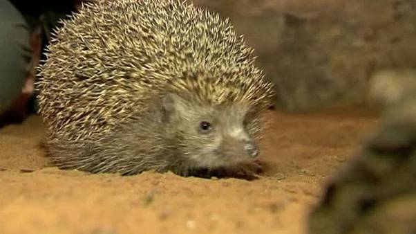 Israel's overweight hedgehogs put on New Year's diets