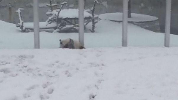 پاندای چینی در برف تمرین ژیمناستیک میکند
