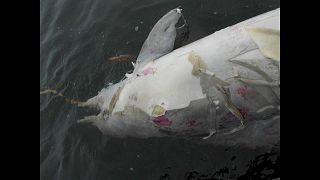 Tömegesen pusztulnak a delfinek Braziliánál