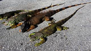 Florida residents share images of frozen iguanas after cold snap