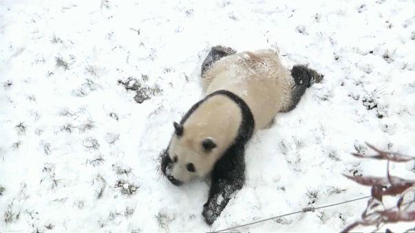 Зимние забавы панд
