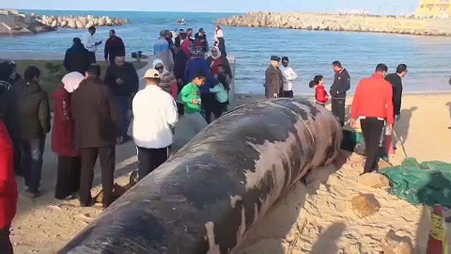 Gigászi bálnatetem az egyiptomi partoknál