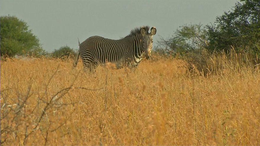 Naturschutz in Kenia: Zählung von Zebras und Giraffen