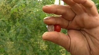 أصغر طماطم في العالم .. صناعة إسرائيلية