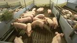 'Alarming' African Swine Fever creeps closer to Germany