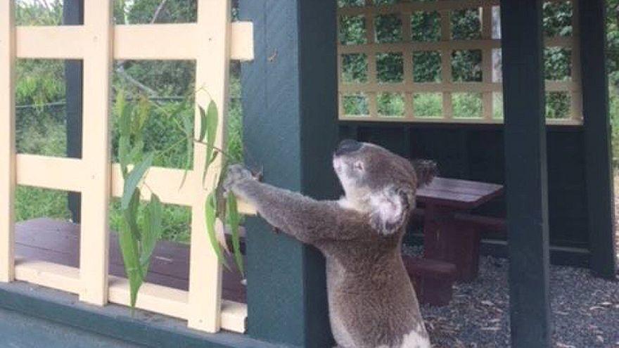 Foto des toten Koala