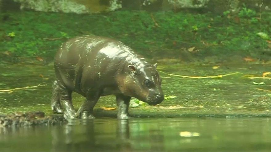 حديقة حيوانات سنغافورة ترفع النقاب عن مواليد فصائل مهددة بالانقراض