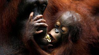 Zuchterfolge im Singapurer Zoo