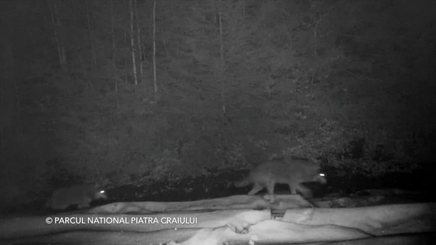 Watch: rare footage of wolves captured on camera in Romania