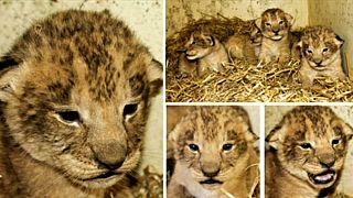 Halálba küldte az állatkert az oroszlánkölyköket, mert nem tudta eladni őket