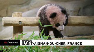 Юань Мэн - первая панда, родившаяся во Франции