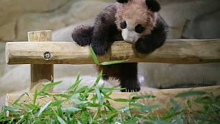 Panda-Baby in Pariser Zoo zeigt sich erstmals der Öffentlichkeit